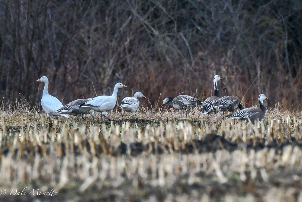 A good find this afternoon in a large pasture in New Salem. About 45 snow geese (the white ones) along with a rare blue phase of the snow geese.