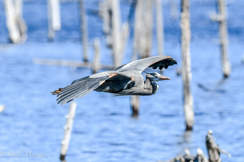 Great blue herons are starting to show up on their nesting grounds.