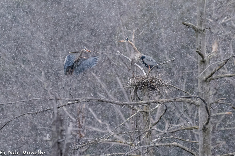 I spent the morning with a pair of great blue herons working on their nest.... It was incredible to watch the weather get worse and worse and the male kept on dragging sticks into the nest for the female to work into the nest.  4/10/18