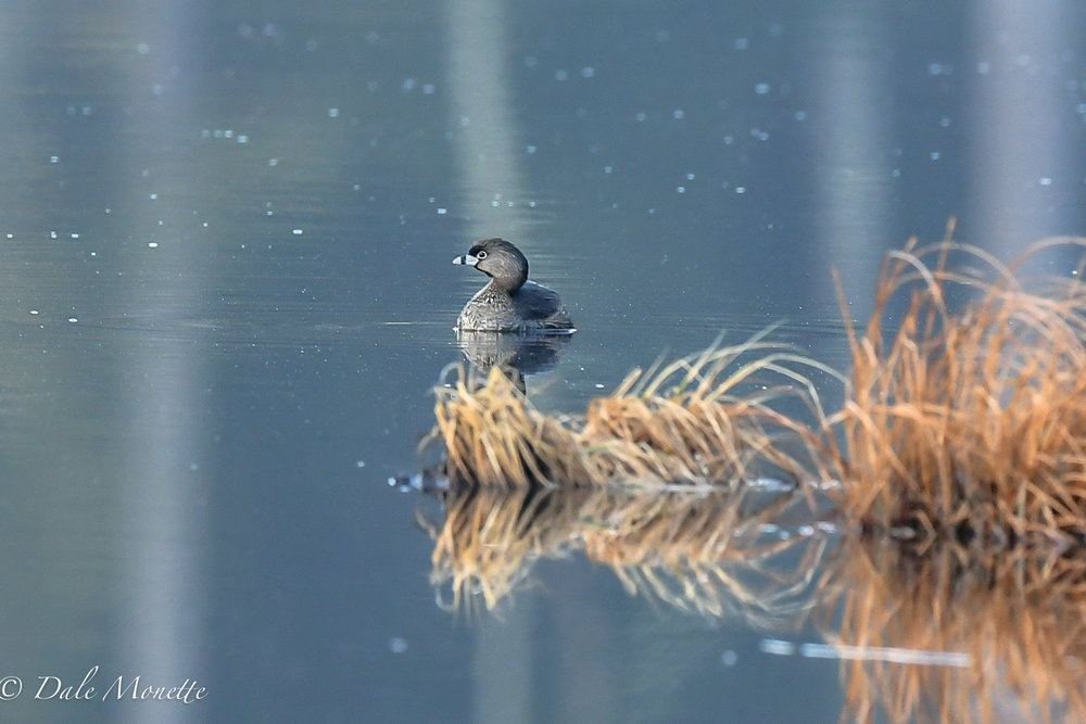 A surprize guest this morning !  A cute pie-billed grebe in a small abandoned beaver pond in North Quabbin watershed was hanging with a green winged teal in the early sun.  4/13/18