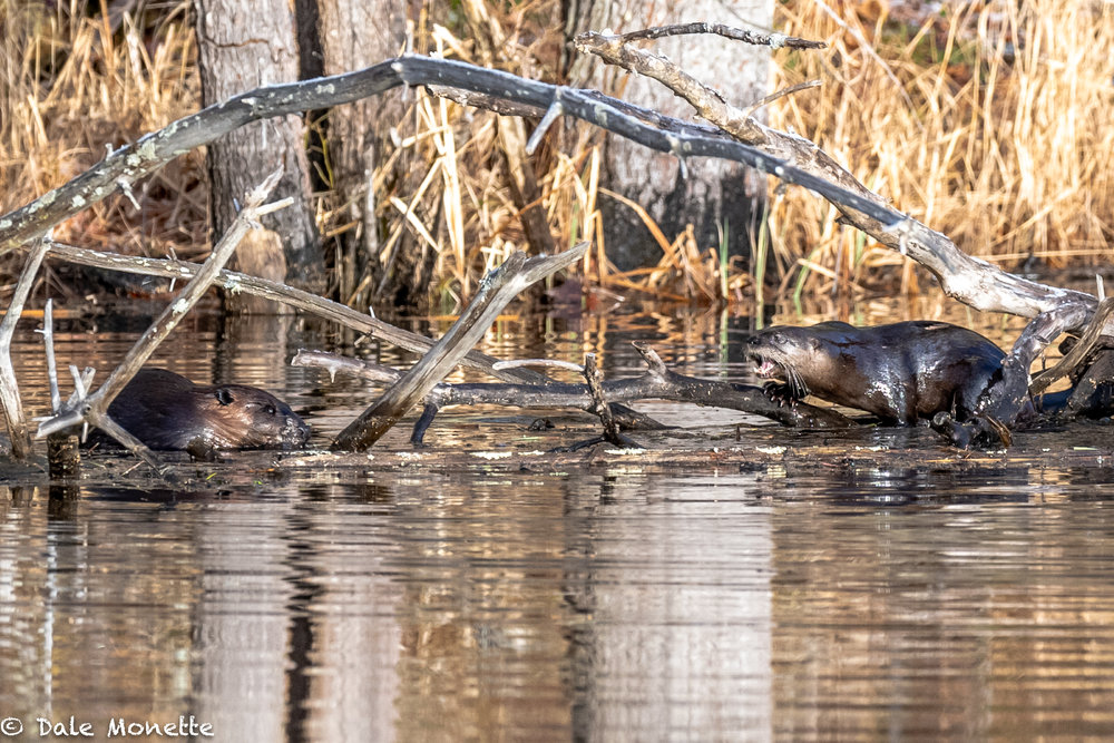 An otter and a beaver both popped up in the same space this morning.  After a few screams from the otter, the beaver headed home after a long nights work…..