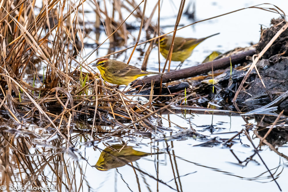 While setting in the woods watching the otters I was swarmed with migrating warblers.  These palm warblers are usually the first warbler, along with pine warblers, that we see in the spring.