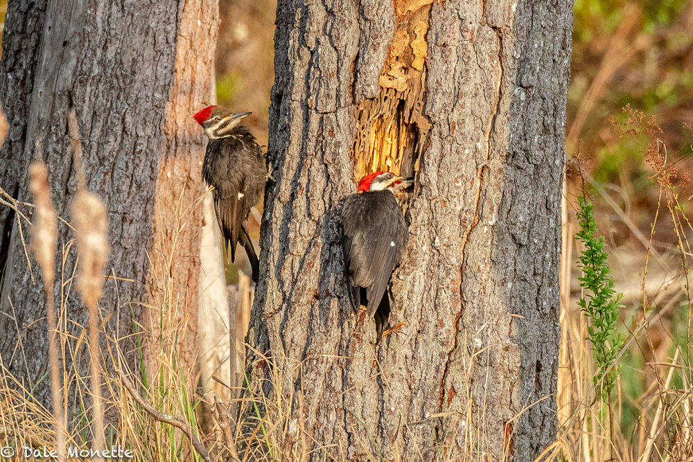 I watched these 2 pileated woodpeckers rip apart this pine tree to get at ants for about 3 hours in the morning sun. 5/9/18