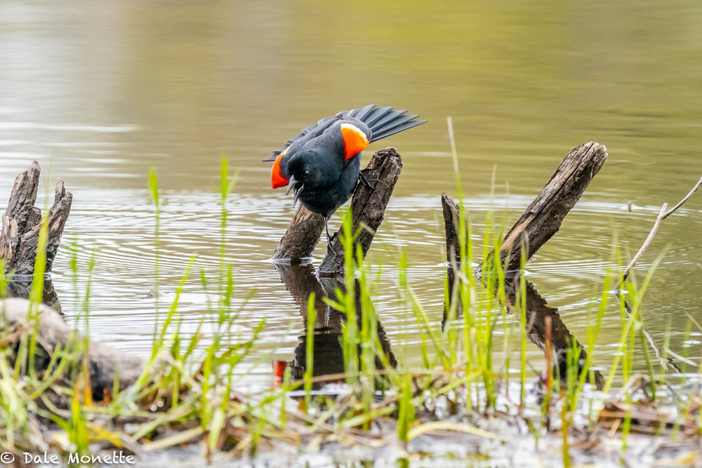 Red wing blackbirds are still making a racket in the early mornings in the local swamps.  I love their song!