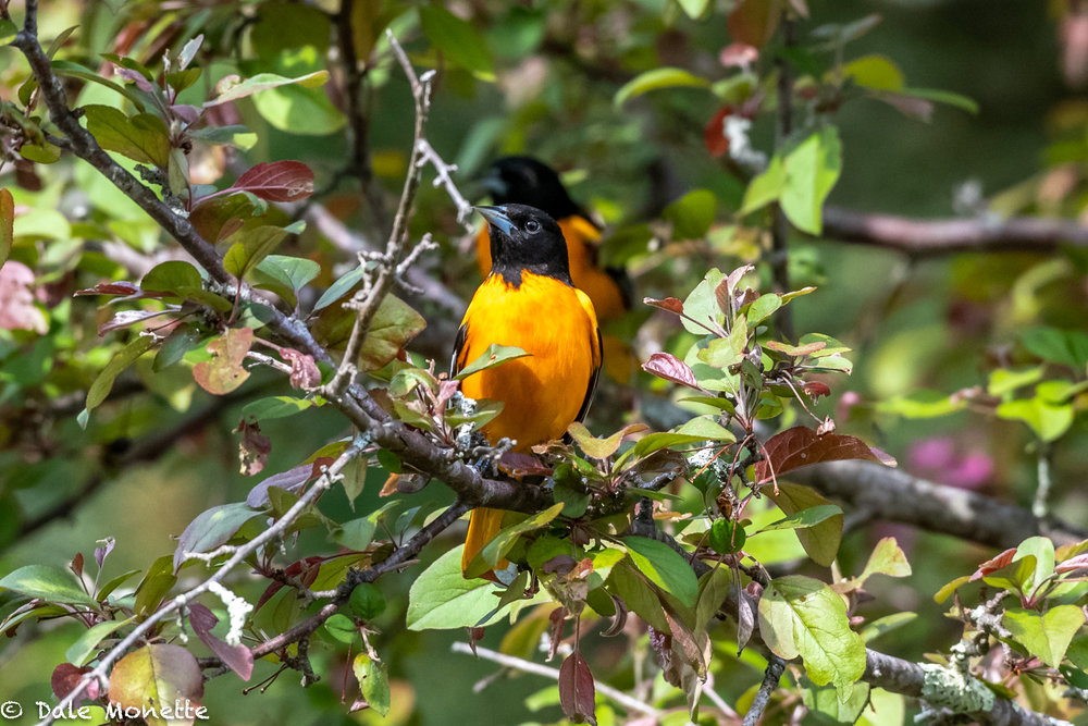 I don't usually see northern orioles so low to the ground.