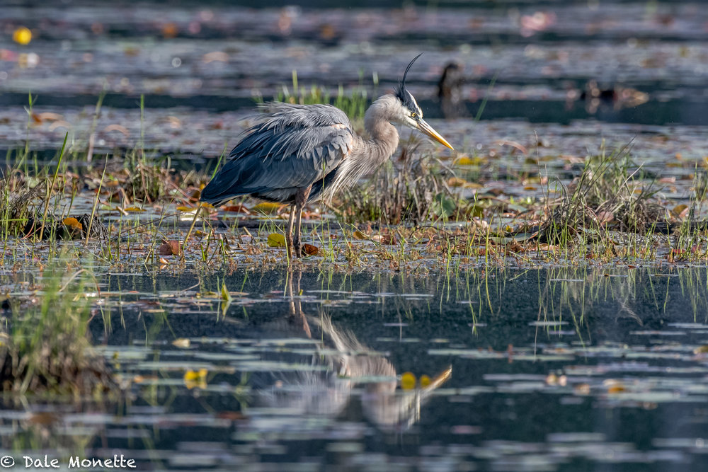 This great blue heron enjoys a good shake to get the feathers back in line after a long preening in the early morning sun,