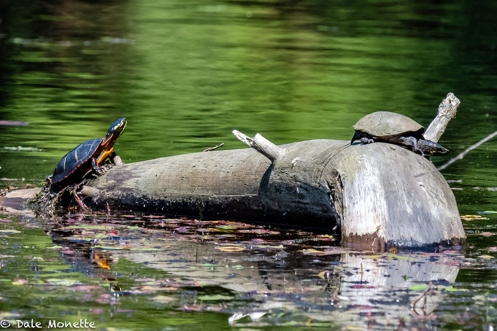 While searching the northern Quabbin today for turtles to photograph, I spotted this musk turtle, or stinkpot, basking on a log. After watching it for about 25 minutes this northern painted turtle joined him. Musky left a few minutes after he appeared on the end of the log...