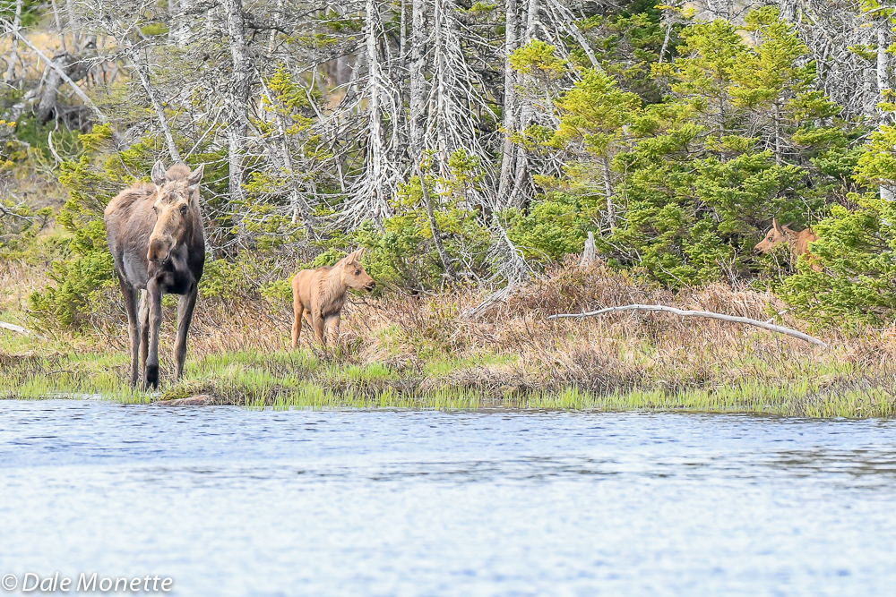 A female moose with her two kids in tow this morning in Cape Breton Highlands National Park, Cape Breton, NS…..Canada  6/8/18
