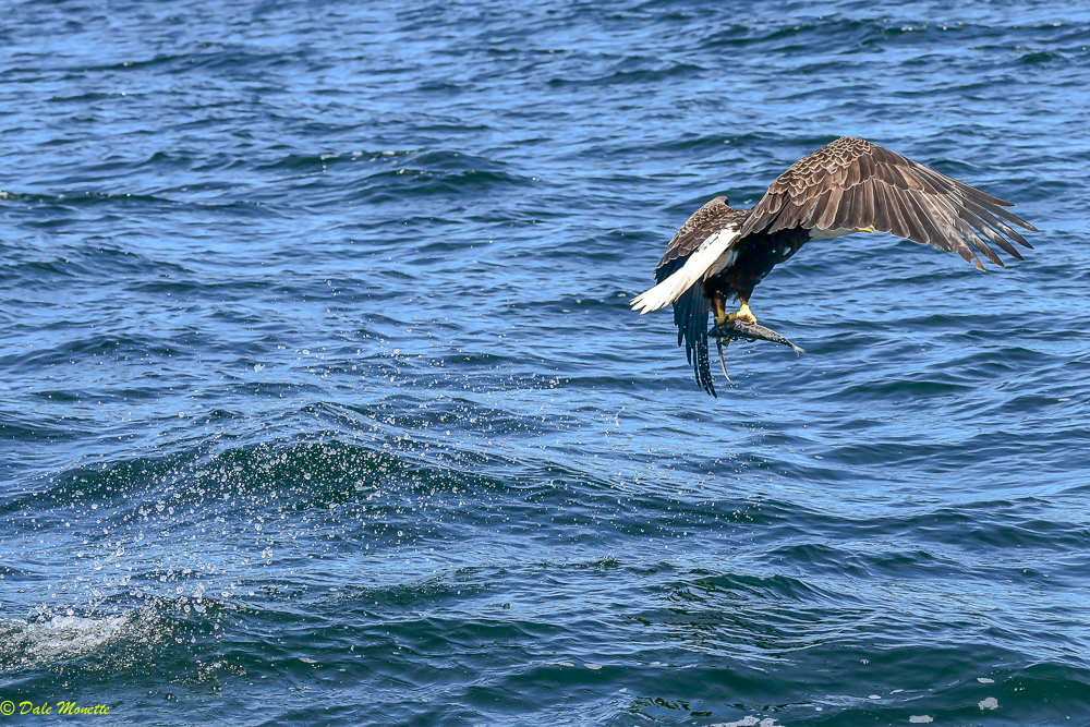 This bald eagle snagged this fish right in front of me as I was in a boat on the St Ann's Bay on Cape Breton yesterday…..6/7/18