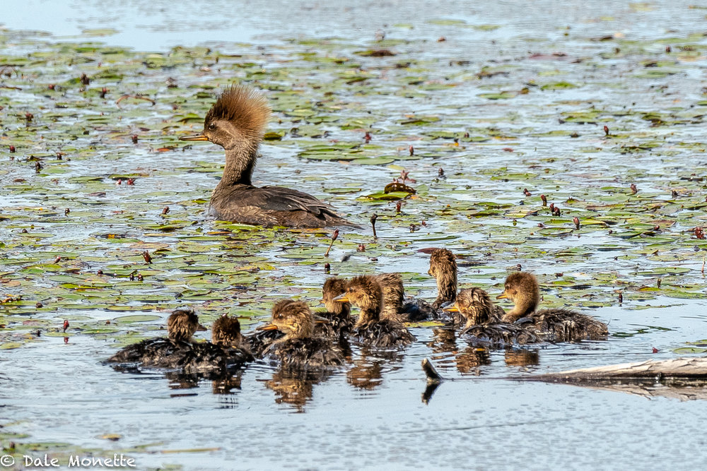 A female hooded merganser drifted by me yesterday with her 10 chicks. She stopped right in front of me so I couldn't move with scaring them.  I was able to nab a couple images.
