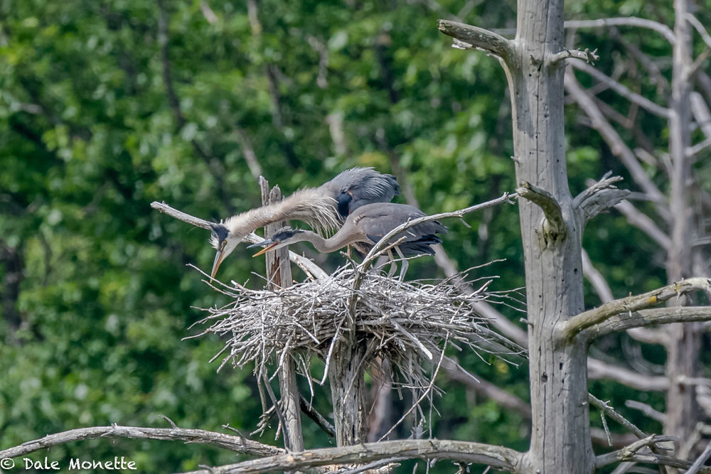Of the three herons left in the nest as of last Monday, only one was left yesterday (6/22/18). The other two have fledged already.  here is feeding time late in the day on the 22nd.