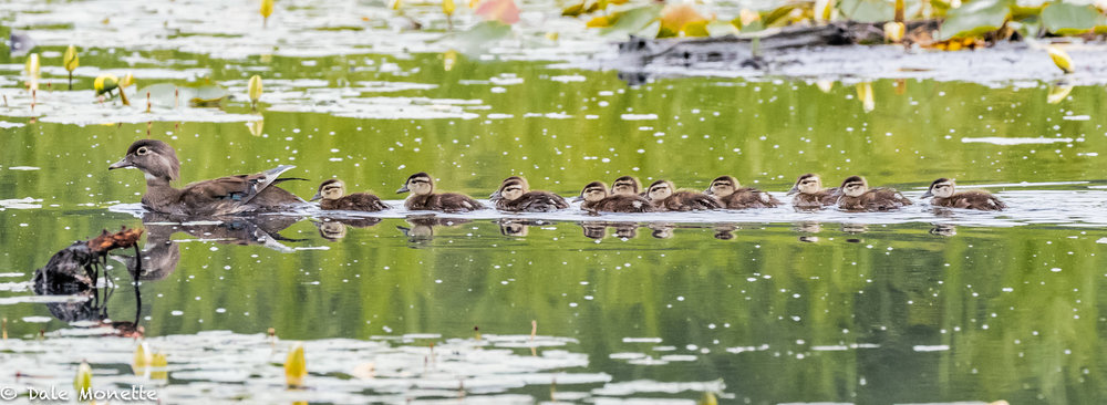 It seems like there are wood duck chicks everywhere this year. This particular pond had 4 broods with at least 40 chicks between them. There's 11 here with this mother.