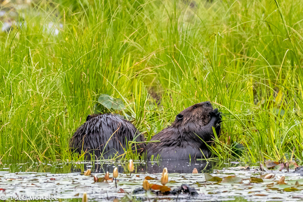 Have breakfast with your brother !   This pair of beavers appeared in front of me about 30 yards on this grass hummock.  They spent 20 minutes eating fresh grass. It must be a change of pace from munching bark!