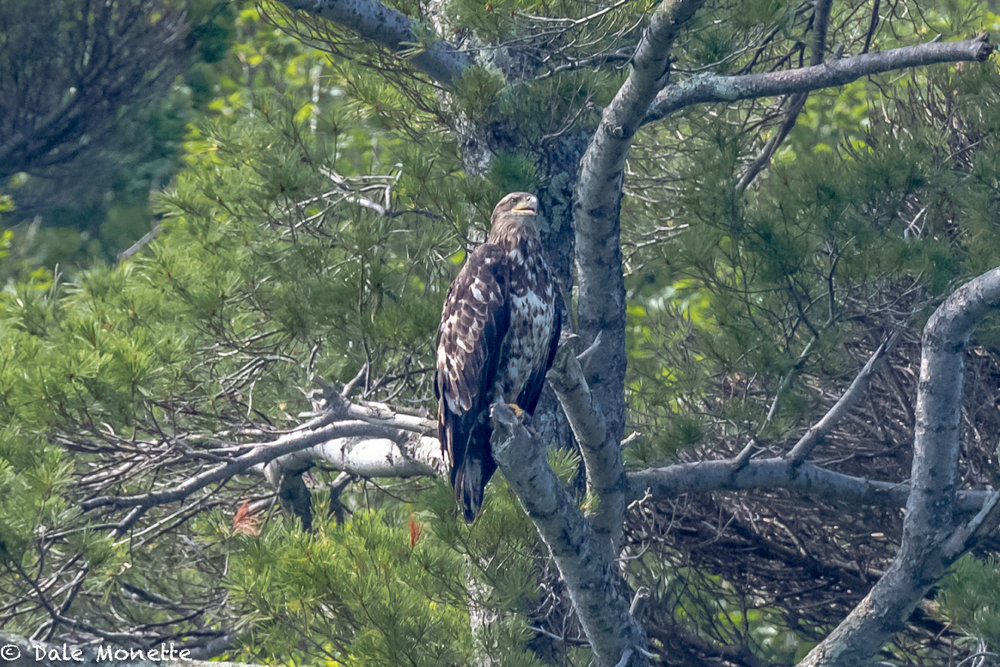 Even this immature bald eagle was sitting in the shade at the Quabbin Reservoir this morning while we did the weekly loon survey.