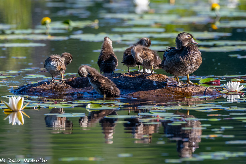 Wood duck chicks are getting bigger by the day. This family pulled up on a rock in front of me this morning and spent about 25 minutes preening and snoozing in the warm sun.  You gotta love ducklings….