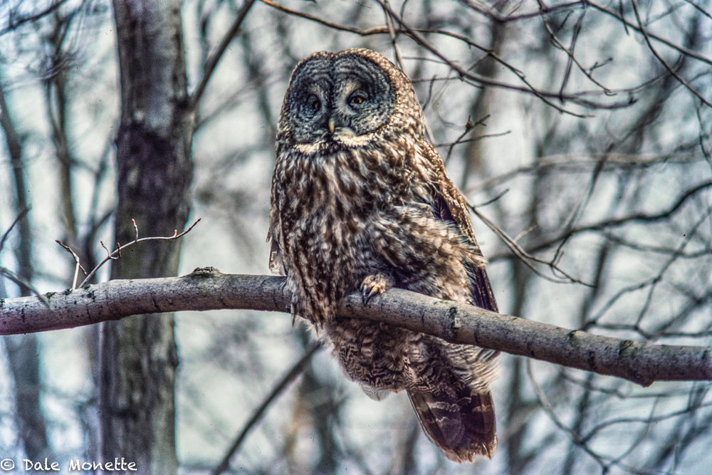 This is a picture I took in Hadley, MA in winter of 1984 of a great gray owl. Little did I know I wouldn't see another one until 2016. This was a slide I scanned of the 1984 owl with the Nikon ES-2 slide digitizer…. what a great invention by Nikon !
