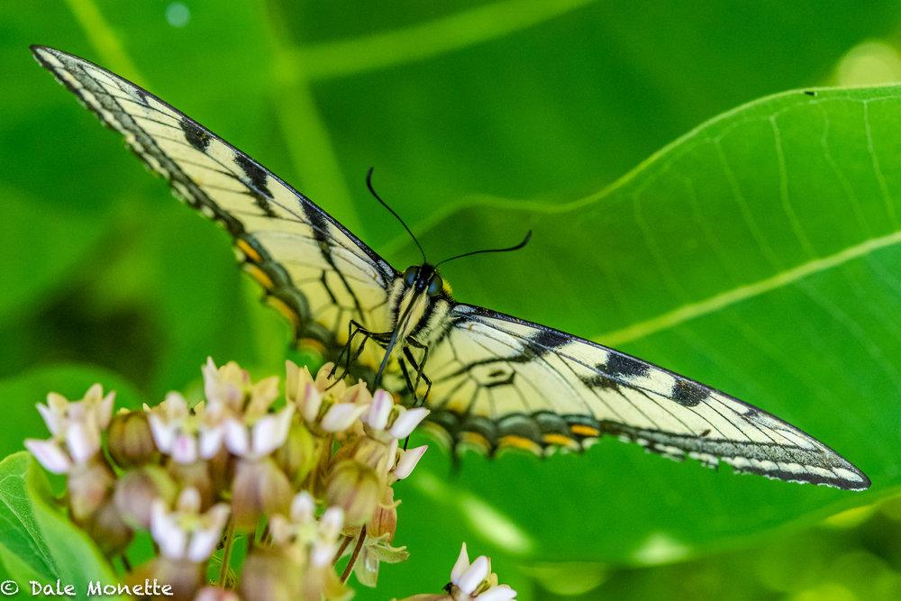 Yellow swallowtail feeding on the milkweed outside my office window!