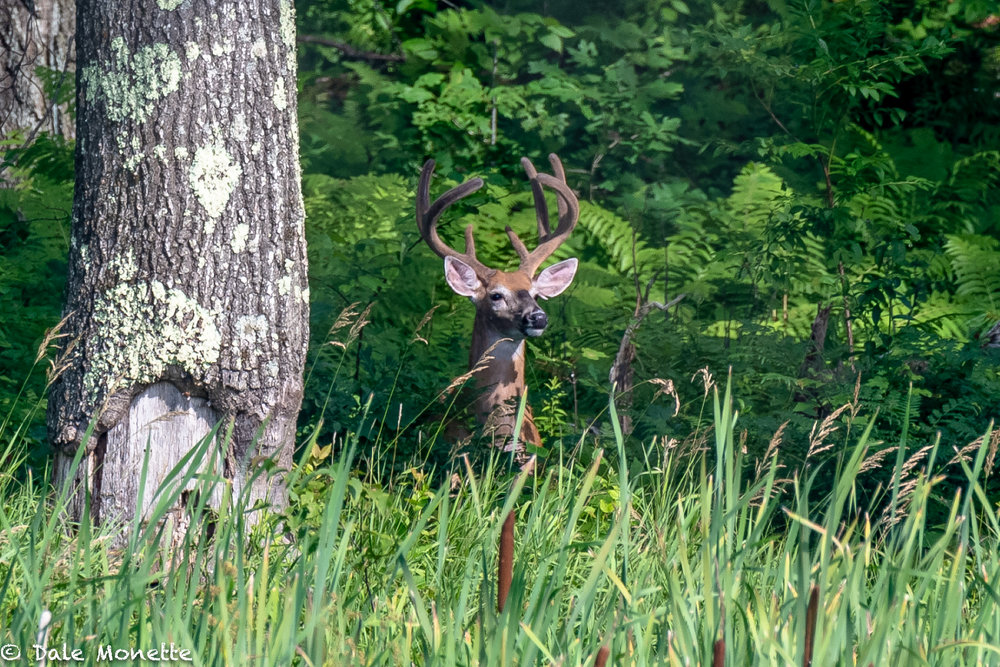 I spotted this white-tailed buck looking at me from across the pond early this morning.  What a beautyr he will be !