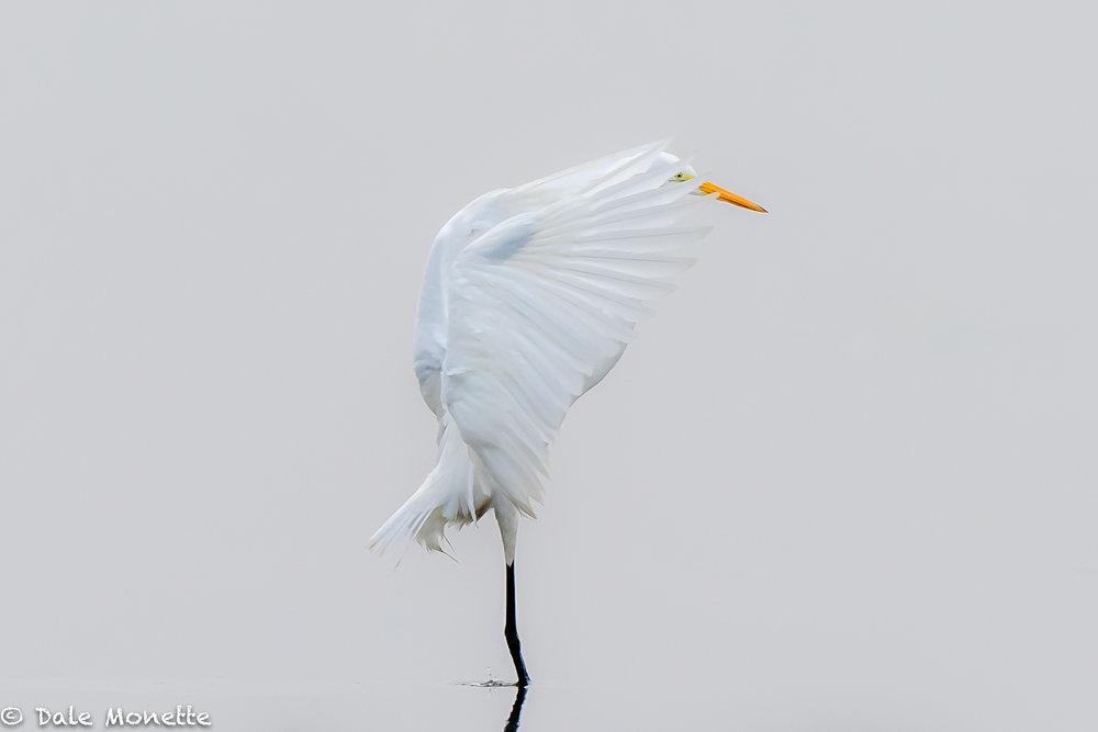 Great egret, Turners Falls MA.  8/5/18