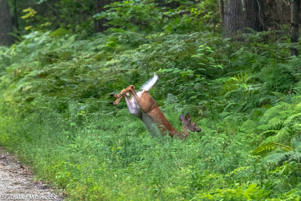 """A white tailed doe took a few bounces to cross the trail I was walking on……you can see why they call them """"white-tailed deer."""