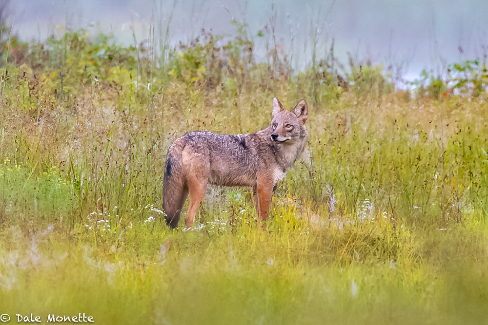 This is the 5th year in a row I have seen this coyote on the same spot!  I call him Patch because he has a black and white patch on his back that is a giveaway that its him.