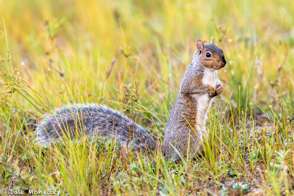 Have you noticed the abundance of squirrels this year, both alive and dead on the roads?  So many were born this spring because of the great food supplies last fall the population grew. Now they are all having problems finding food.