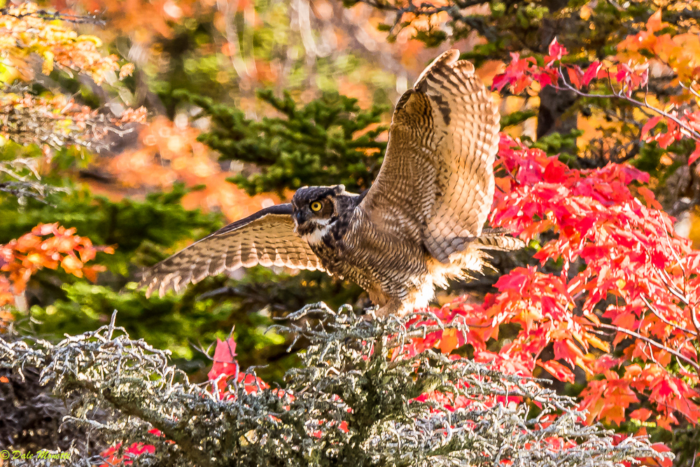 This great horned owl was hunting a small lakes shoreline in Cape Bretons Highlands National Park and landed about 50 yards up the shore from me.