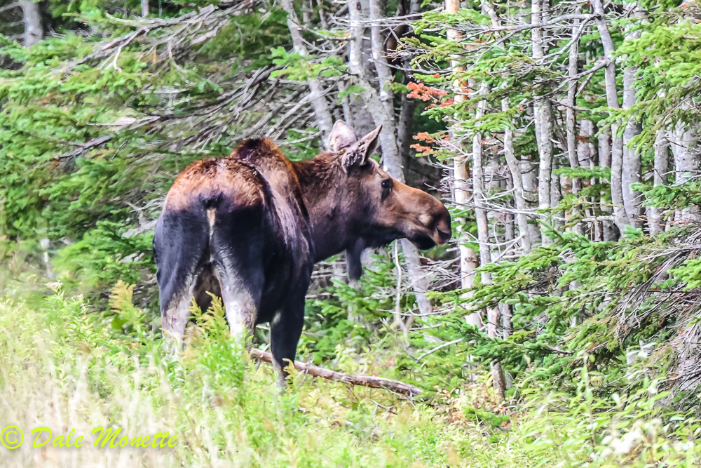 This female moose kept looking into the woods as something was disturbing her. Finally she wandered off in that direction. I was hoping for a bull to show up !