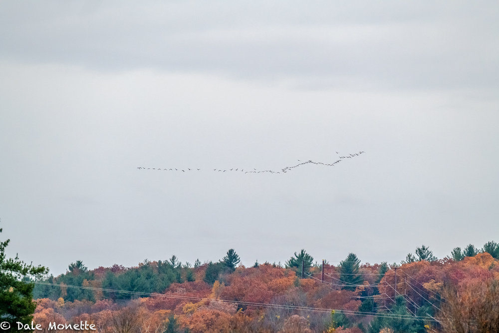 And there go the Canada geese………. southbound.