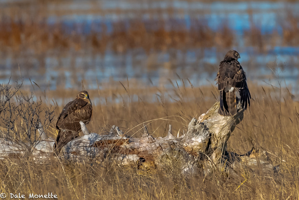I went to the north shore this morning searching for snowy owls. I found none, but did have fun watching 3 or 4 harriers cruising the marshes. A pair of females take a rest in the sun.