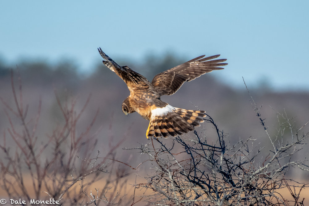 A female harrier launches off after a mouse or small creature in the wetlands.