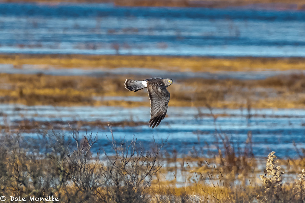 Female harriers are brown. Males are gray and called gray ghosts because they are so rare. This male flew by me at Salisbury State Park, along the coast north of Boston…