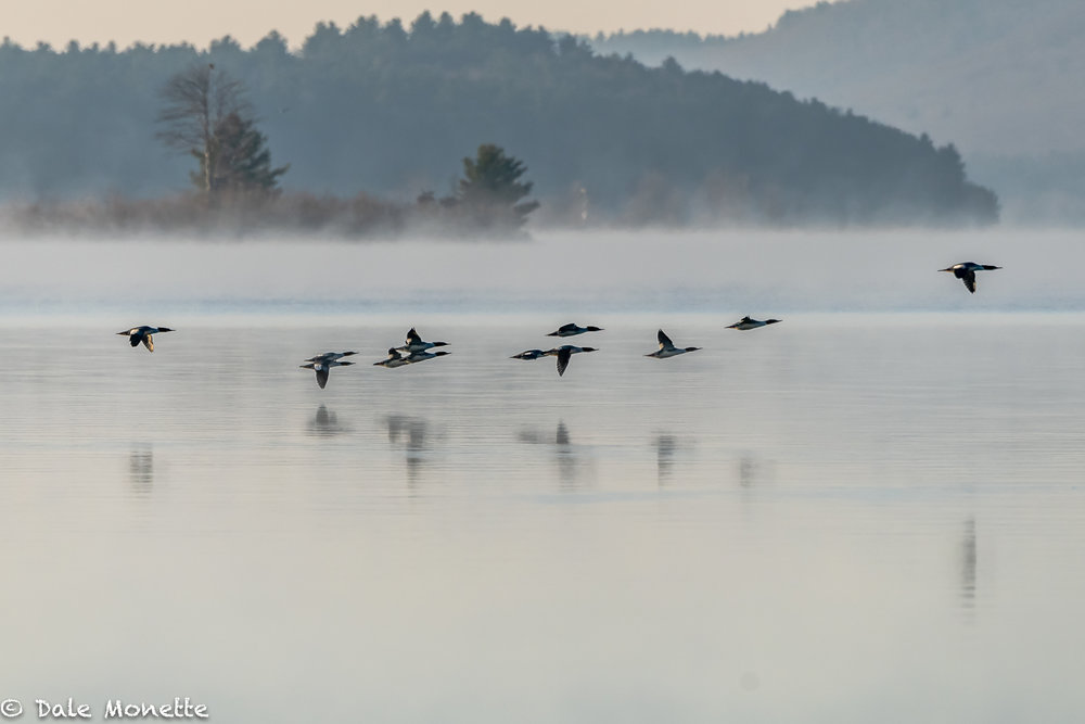 This morning at Quabbin I took this image of a flock of 12 common mergansers zipping along the surface. As I looked close at the image on my computer I noticed 2 adult bald eagles in the image also. Can you see them ?