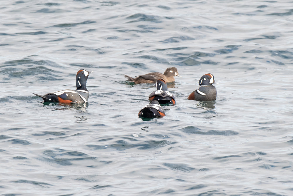 I found these 5 harlequin ducks bobbing near the rocks in Ogunquit Maine yesterday. They winter along the New England coast and are spectacular to see. They are smaller than wood ducks.