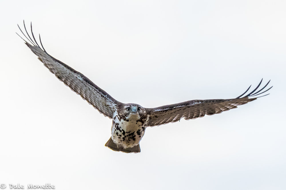 A trip to Salisbury State Park this morning for owls turned up empty. I did get this juvenile red-tailed hawk take off and fly right over my head.