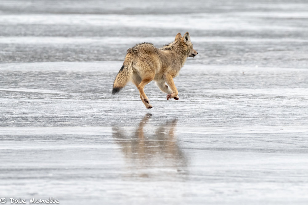All the noise of the ice cracking kept this coyote pretty nervous while feeding on the deer carcass until finally it left running.