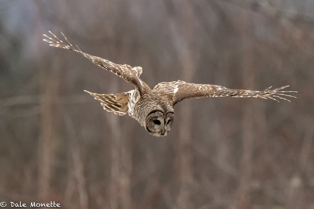 Barred owl,  or better known as a flying mouse trap !