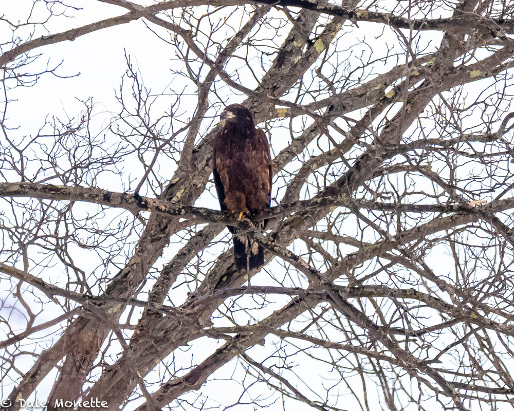 I spotted this huge bird sitting in a tree way back in the corner of a field today. It didn't look like a bald eagle but was huge.  I put up the camera with my 500mm lens and was I surprised !  A golden eagle !!