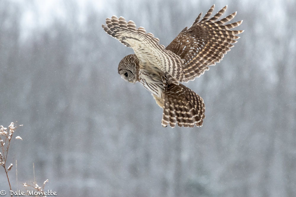 Another barred owl hunting in a snow storm this morning right in front of me!  Right place, right time!  Although I had been looking for 3 hours and was just about frozen stiff !