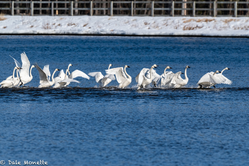 A rare sight any day in MA would be one tundra swan,  but this week a flock of 19 are hanging out along the CT. River in Turners Falls.  The swans are rarely seen in MA.