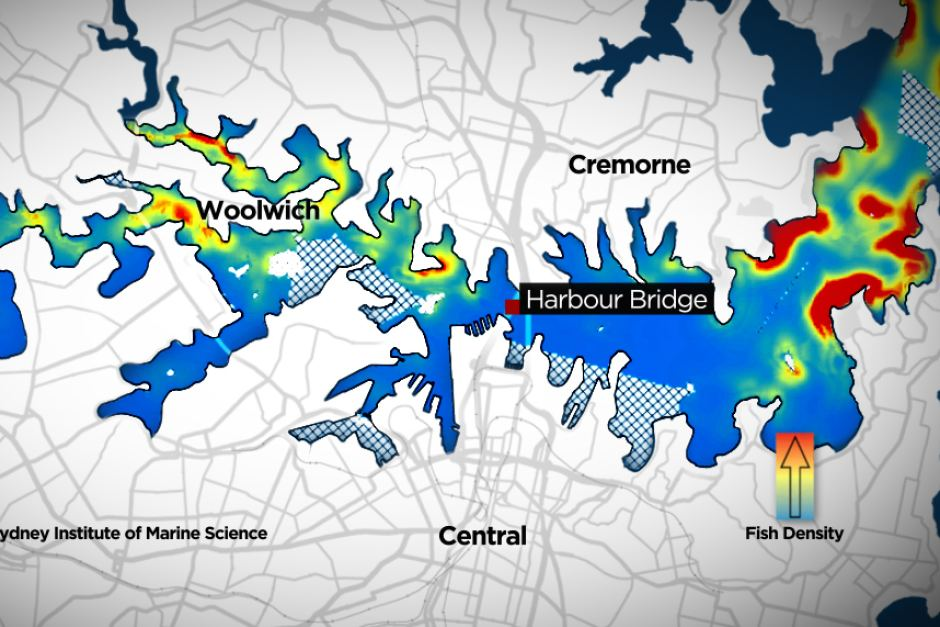 Map of hotspots on Sydney Harbour shows people catch fish west of the Sydney Harbour Bridge. http://www.abc.net.au/news/2014-08-15/map-of-fishing-spots-on-sydney-harbour/5675092 Some good fishing density is reported around chowder and shark bay which is perfect.