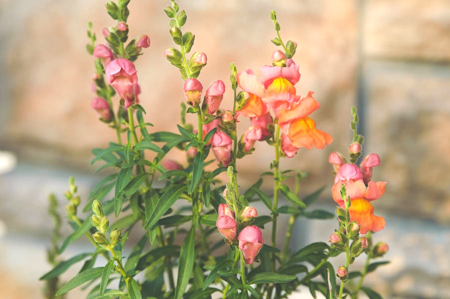 Montego Sunset Snapdragon
