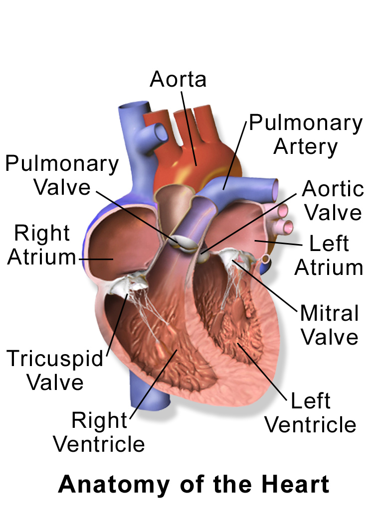 Blausen_0462_HeartAnatomy.png