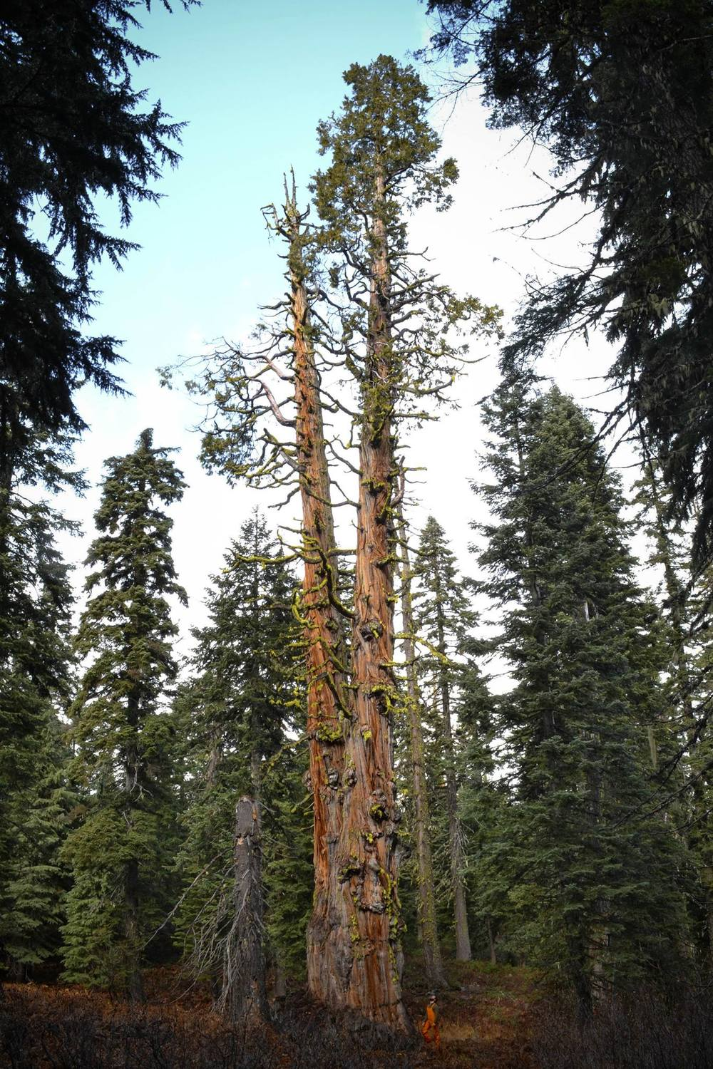 Incense cedar state champion, located in the Red Butte Wilderness, OR.