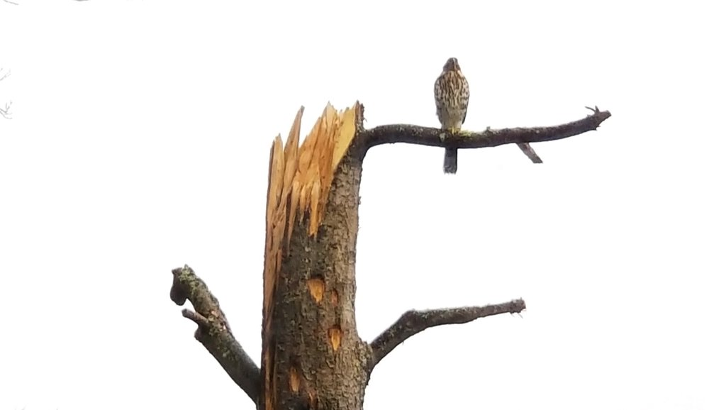 Podcast - International Society of Arboriculture - Arborists and Wildlife: Retaining Trees for Wildlife HabitatArticle written by Brian French, read by Paul Johnson