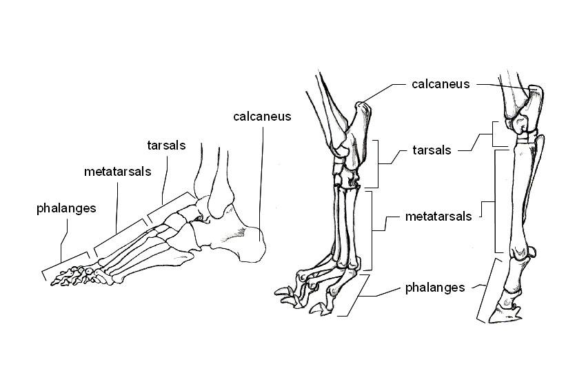Human, Dog & Horse Feet
