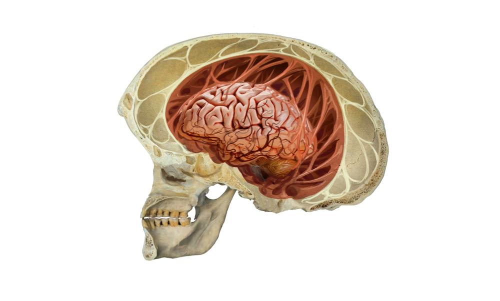 Brain Tendons