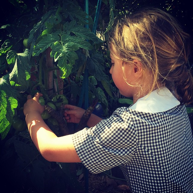 Picking our first tomatoes for 'pasta ai pomodori verdi' cooking class for kids