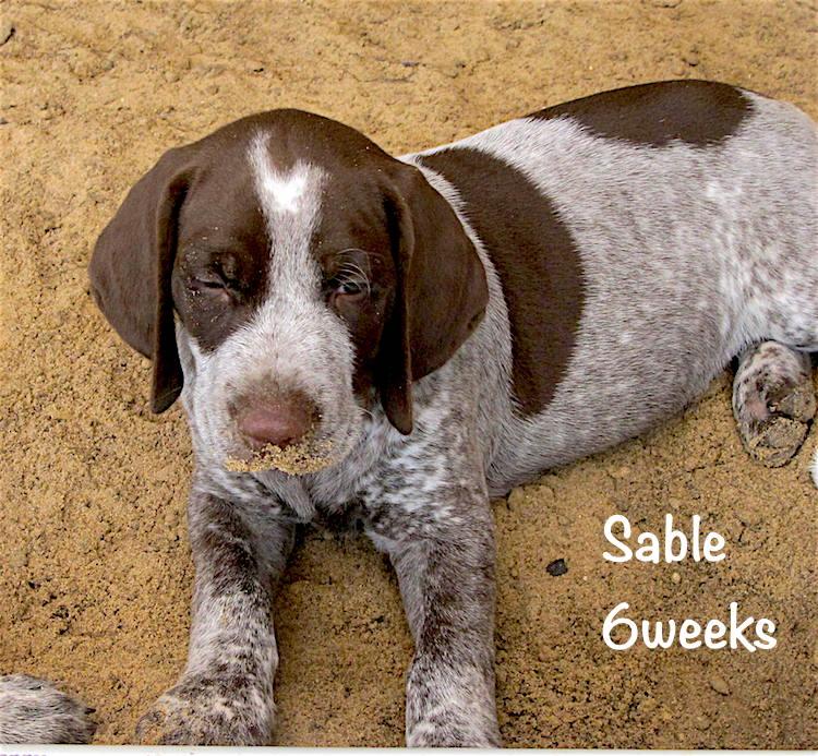 Sable-face-6weeks.jpg