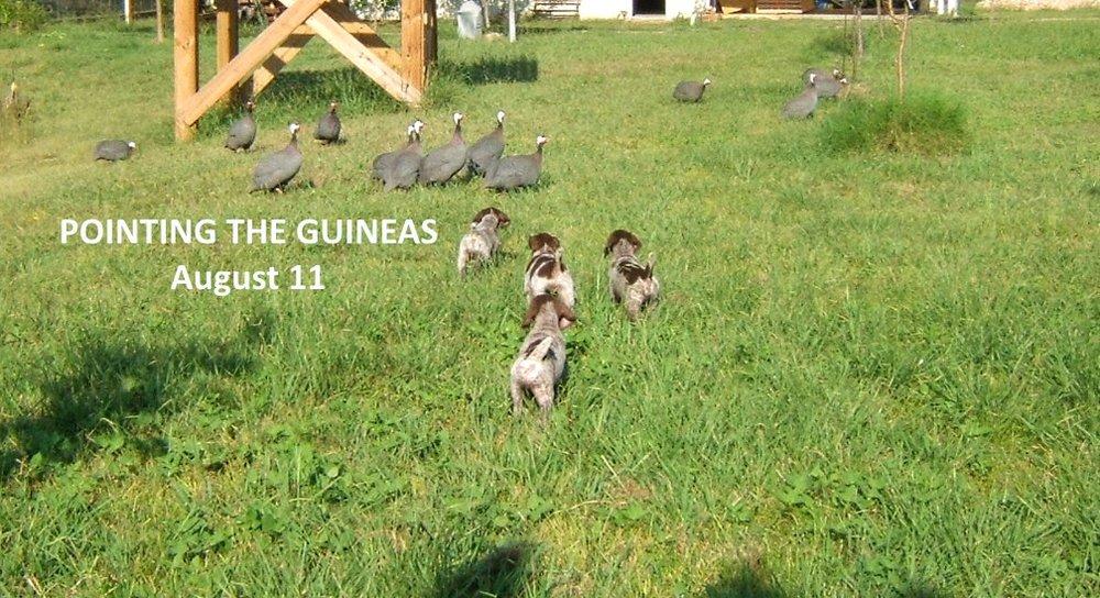 Guineas-Aug11.jpg